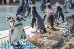 在瓦片的企鹅立场 库存图片