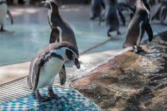 在瓦片的企鹅立场 免版税库存照片