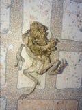 在瓦片的干燥死的青蛙 免版税库存照片