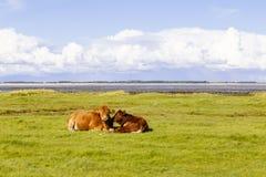 在瓦登海的母牛Amrum的,德国 免版税库存照片