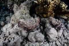 在瓦砾伪装的驼背石头鲈 图库摄影