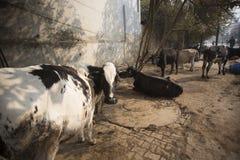 在瓦腊纳西街道上的圣牛  免版税库存图片