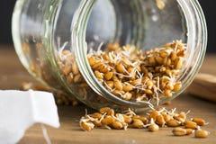 在瓶子的发芽的麦子 免版税库存图片