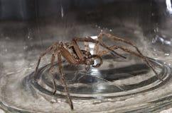 在瓶子的大蜘蛛 库存照片