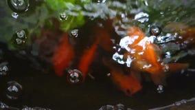 在瓶子的金鱼游泳用清楚的水 在水族馆的金鱼有绿色植物的 关闭,迷离抽象背景 影视素材