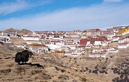 在甘丹寺前面的牦牛在西藏 免版税库存照片