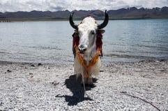 在甘博的一头被驯化的牦牛在羊卓雍错上通过 库存照片