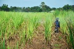 在甘蔗领域的农夫喷洒的除草药 免版税库存图片