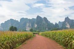 在甘蔗领域的土路与美丽的天空 免版税库存照片