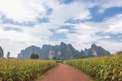 在甘蔗领域的土路与美丽的天空 免版税图库摄影
