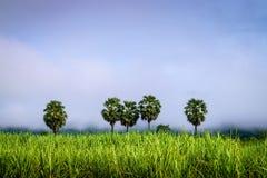 在甘蔗领域的Tan树 免版税库存图片