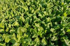 在甜菜领域植物的顶视图 免版税库存照片
