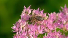 在甜蜜的蜂蜂蜜的甜花