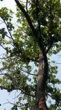 在生产果子前的鳄梨树 免版税图库摄影