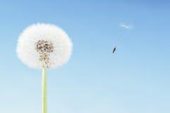 在生动之下的去蓝色蝴蝶概念花飞行自由天空swallowtail 与飞行与风的种子的蒲公英 复制空间,蓝天 库存图片