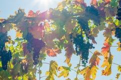 在生动的颜色和阳光的蓝色成熟葡萄 免版税图库摄影