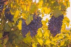 在生动的颜色和阳光的蓝色成熟葡萄 图库摄影
