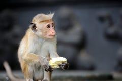 在生存自然的猴子 免版税库存图片