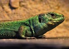 在生态动物园的绿色鬣鳞蜥 库存照片