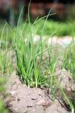 在生态家庭菜园的葱 图库摄影