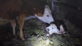 在生母以后的几分钟威胁苍劲舔幼小婴儿干净的小母牛牛 1920x1080 股票录像