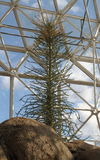 在生物群系`下加利福尼亚州沙漠`的生物圈二号- Boojum树 库存照片