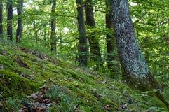 在生苔下坡的山毛榉和橡树在森林里 免版税库存照片