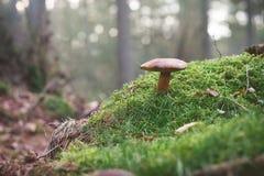 在生苔地面选择聚焦的蘑菇 库存照片