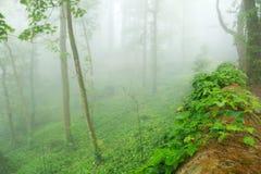 在生苔墙壁上的常春藤在一个有薄雾的森林里 免版税库存图片