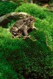 在生苔小山的美国蟾蜍 免版税库存图片
