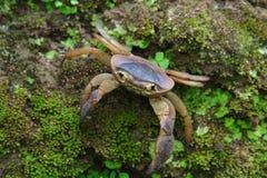 在生苔岩石的淡水螃蟹 免版税库存照片