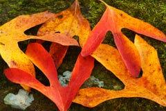 在生苔岩石的秋叶 免版税库存图片