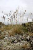 在生苔岩石的芦苇 库存图片