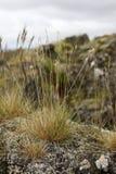 在生苔岩石的芦苇 免版税图库摄影
