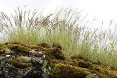 在生苔岩石的芦苇 免版税库存图片