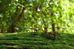 在生苔树的神仙的墨水盖帽真菌 库存图片