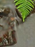 在生苔石头的绿色蕨叶子在增加的水平面下。   免版税图库摄影
