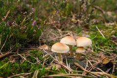 在生苔绿色草甸的蘑菇 免版税库存照片