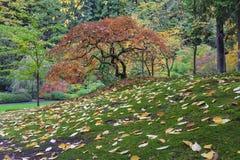 在生苔绿草的鸡爪枫树在秋季期间 库存图片