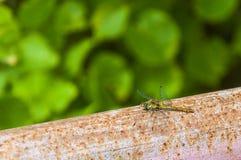 在生锈的金属管子的蜻蜓有绿色的离开叶子背景 库存图片