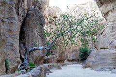 在生长在与一点表土的一个空隙外面和战斗为它的生存的Siq的树在岩石镇和necr的沙漠 库存图片
