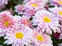 在生长在夏天领域的桃红色菊花的接近的看法 背景细部图花卉向量 桃红色延命菊开花 冠 库存图片