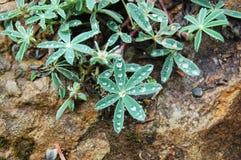 在生长在岩石的植物的雨珠在风暴以后 库存照片