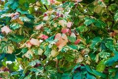 在生长在热带的树的五颜六色的叶子 库存图片