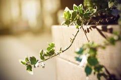 在生长在罐的室内常春藤分支的叶子 库存图片