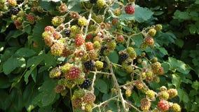 在生长在Leidschendam街道上的植物的所有颜色的黑莓在荷兰 图库摄影