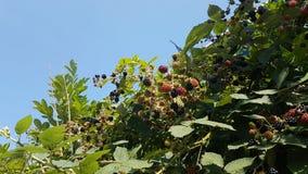 在生长在Leidschendam街道上的植物的所有颜色的黑莓在荷兰 库存照片