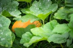 在生长在vin的大绿色叶子之间的大黄色南瓜 免版税库存照片
