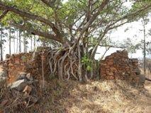 在生长墙壁的树根 免版税库存图片