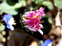 在生长的一束桃红色和白花在春天过程中 免版税库存照片